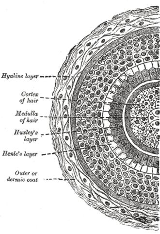 Root sheath - Transverse section of hair follicle.