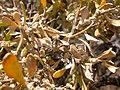 Grayia spinosa (3940144820).jpg