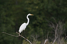 Great Egret 7331.jpg
