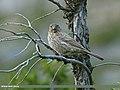 Great Rosefinch (Carpodacus rubicilla) (20319670839).jpg