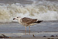 Great black-backed gull Larus marinus second-winter.jpg
