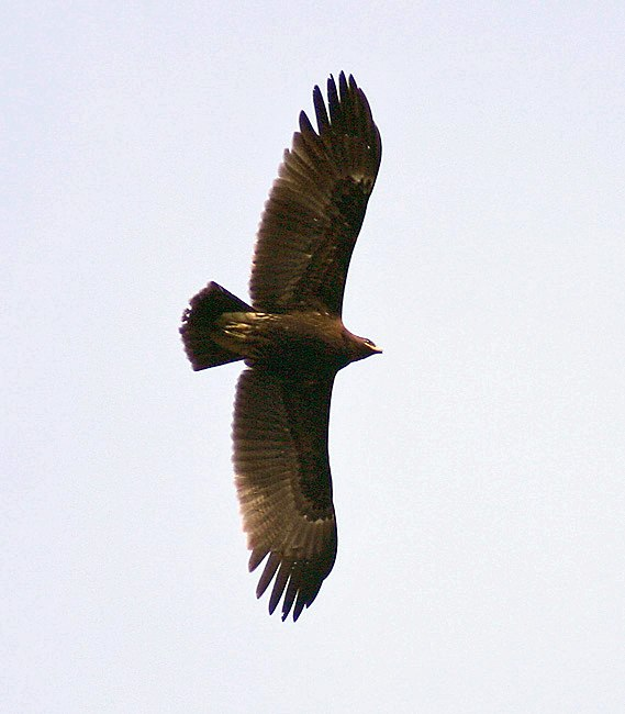 Great spotted Eagle I IMG 8302
