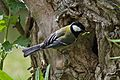 Great tit in front of its breeding cavity.jpg