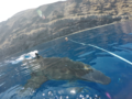 Great white shark at Isla Guadalupe, Mexico. Animal estimated at 16-18 feet in length, age unknown.png