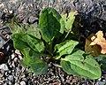 Greater Plantain (Plantago major) - Oslo, Norway 2020-08-04.jpg