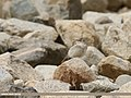 Greater Short-toed Lark (Calandrella brachydactyla) (45043635534).jpg