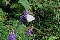 Green-veined white nectaring (Dobř. Doly) (32120854650).jpg