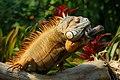 Green Iguana (138742653).jpeg