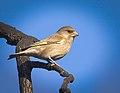 Greenfinch (40722251302).jpg