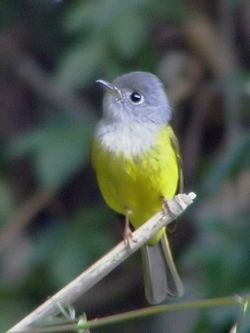 Grey-headed Canary Flycatcher.jpg
