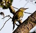 Grey-headed woodpecker (Picus canus) 39.jpg