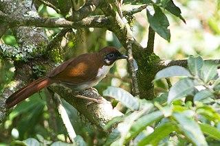 Grey-sided laughingthrush species of bird