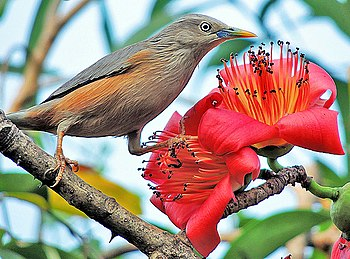 Grey Headed Starling (Sturnus malabaricus) Photograph by Shantanu Kuveskar.jpg