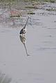 Grey Heron (3327875836).jpg