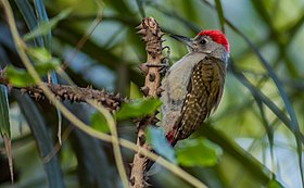 Grey Woodpecker ...Gambia (33190095995).jpg