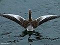 Greylag Goose (Anser anser) (24268226259).jpg