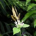 Großer Schwalbenschwanz (Papilio cresphontes) 2.jpg
