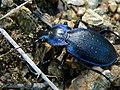 Ground Beetle (Mesocarabus problematicus inflatus) (8333348744).jpg