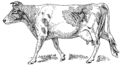 Guernsey cow (PSF).png