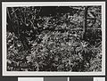 Gulveis. Yoldia - no-nb digifoto 20150925 00116 bldsa HRH01 117.jpg