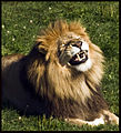 Guylaine2007 - Le sourire du lion (by).jpg