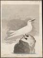 Gygis alba - 1786-1789 - Print - Iconographia Zoologica - Special Collections University of Amsterdam - UBA01 IZ17900396.tif