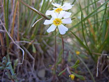 Gymnosteris nudicaulis (5886441467).jpg