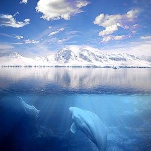 Español: Paisaje nor-polar: ballenas belugas n...
