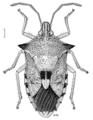 HEMI Pentatomidae Oechalia schellenbergi.png