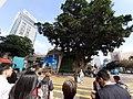 HK TST 尖沙咀 Tsim Sha Tsui 梳士巴利道 Salisbury Road Canton Road 1881 tree Chinese Banyan January 2020 SS2.jpg