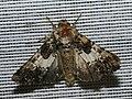 Hadena compta - Varied coronet - Семенная совка гвоздичная (40357189154).jpg