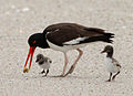 Haematopus palliatus -Atlantic coast, New Jersey, USA-8.jpg