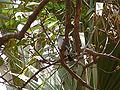 Halcyon senegalensis 0001.jpg