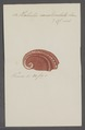 Haliotis canaliculata - - Print - Iconographia Zoologica - Special Collections University of Amsterdam - UBAINV0274 081 14 0010.tif