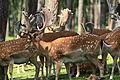 Haltern - Naturwildpark Granat - Dama dama dama 59 ies.jpg