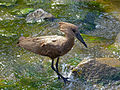 Hamerkop (Scopus umbretta) (13781690855).jpg