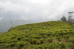 Happy Valley Tea Estate - Happy Valley Tea Estate in Darjeeling.