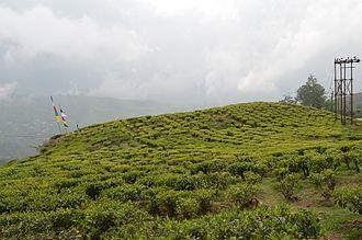 Happy Valley Tea Estate - Happy Valley Tea Estate in Darjeeling.