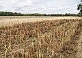 Harvested Crop north of Pylewell - geograph.org.uk - 1431730.jpg
