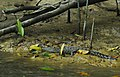 Hatchling saltwater crocodile.jpg