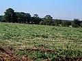 Hayfield hemp field - geograph.org.uk - 641703.jpg