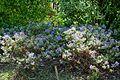 Hebe diosmifolia - Savill Garden - Windsor Great Park, England - DSC05986.jpg