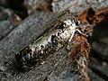 Hedya salicella - Разноцветная листовёртка ивовая (40397788455).jpg