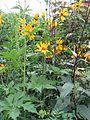 Helianthus atrorubens - Flickr - peganum.jpg
