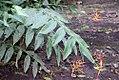 Heliconia hirsuta 4zz.jpg