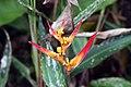 Heliconia psittacorum 25zz.jpg