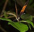 Heliconius numata bicoloratus (14864008817).jpg