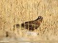 Hen Harrier (Circus cyaneus) (32377670178).jpg