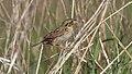 Henslows Sparrow (Ammodramus henslowii) (5752598436).jpg