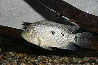 Herichthys cyanoguttatum (Rio Grande Cichlid).jpg